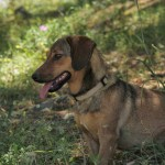 Stable dog Doedel, a mix of dachshund and a cretan hound.